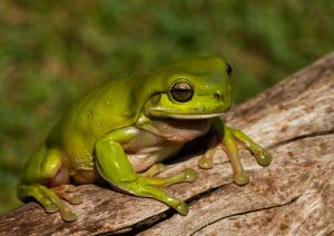 Frogs of the Northwoods Program and Field Trip @ Powell Marsh